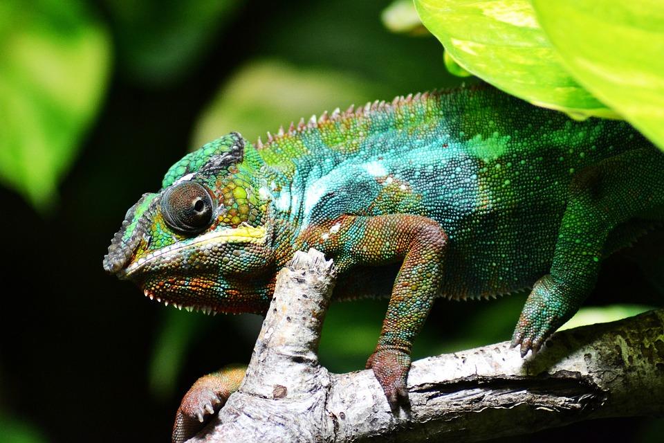 Kameleon, Reptiel, Dierlijke, Chamaeleonidae