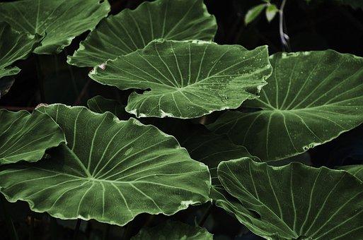 Leaves, Plant, Lotus Leaves, Foliage