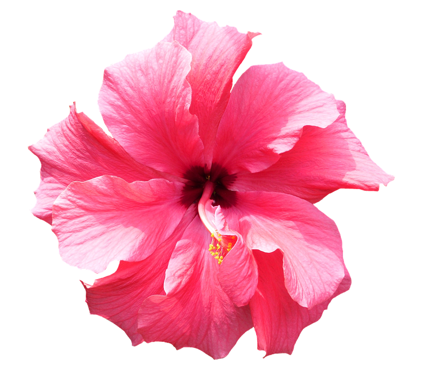 free photo hibiscus, pink, tropical, flower  free image on, Beautiful flower