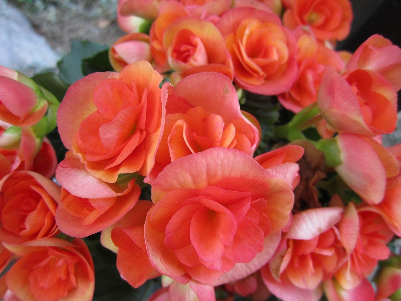 Картинки бегония цветок