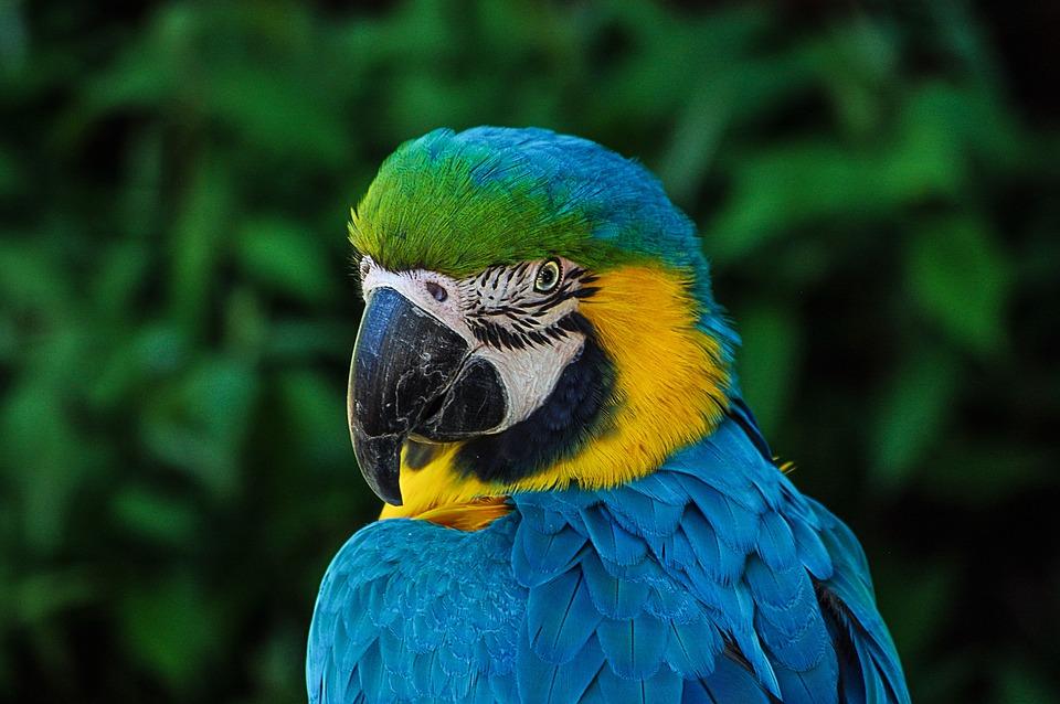 コンゴウインコ, 鳥, 動物, 青と黄色のコンゴウインコ, オウム, アラ, 野生動物, 肖像画, 動物相