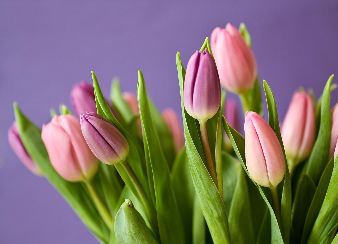Tulpen, Blumen, Tulpenstrauss, Violett, Rosa, Natur