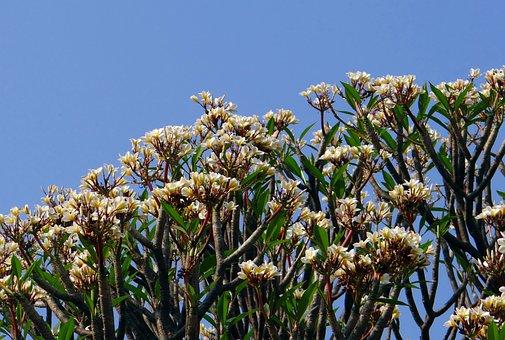 Plumeria, Fleur De Frangipanier, Fleurs