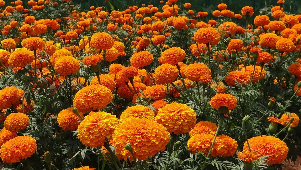 Marigold, Flowers, Garden, Orange, Bright, Color