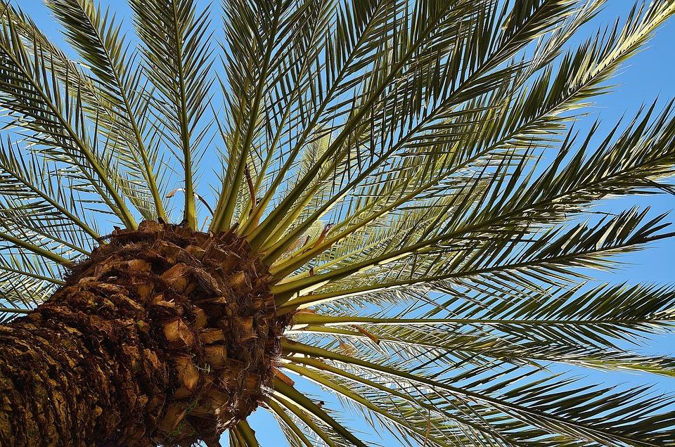Palma, Albero, Palma Da Datteri, Shade Tree, Tribù
