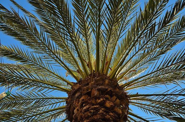 Free Photo Palm Tree Date Palm Shade Tree Free Image