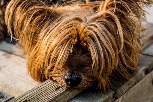 Yorkshire Terrier, Perro, Perro Pequeño, Perro