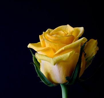 Rose, Flower - Free images on Pixabay