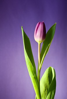 Tulips images pixabay download free pictures tulip flower bloom pink flowers spring nat mightylinksfo
