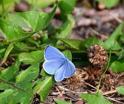 Azul De Adonis, Mariposas, Mariposa