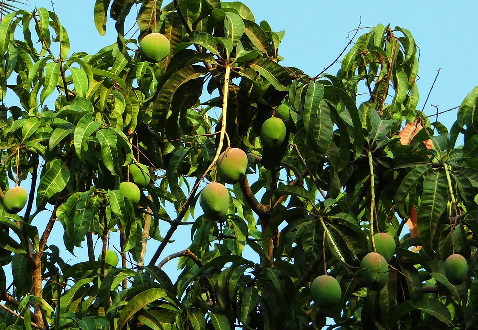 Mango Tree, Mango, Mangifera Indica, Tropical Fruit