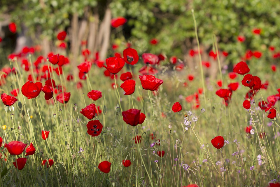 Poppies flowers red free photo on pixabay poppies flowers red poppy poppies field field mightylinksfo