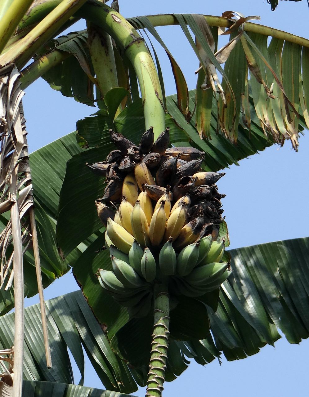 любителям шумных как выглядит настоящий банан фото сиде есть