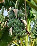banana, tropical