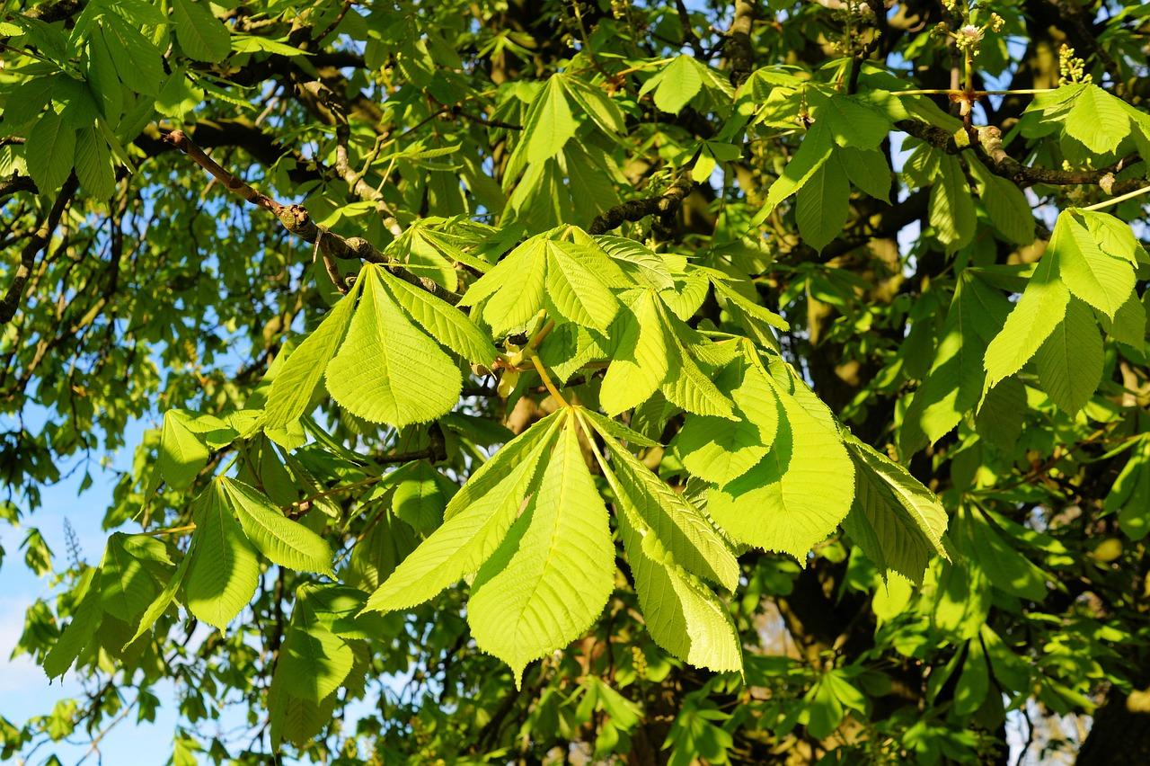 каштановые деревья картинки добавлении