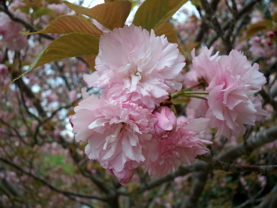 Fleurs roses de printemps 28 images fleurs de cerisier - Fleurs roses de printemps ...