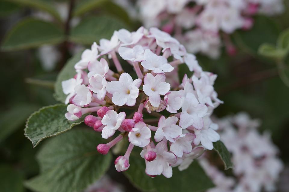 Schneeball Blühen Blüte · Kostenloses Foto auf Pixabay