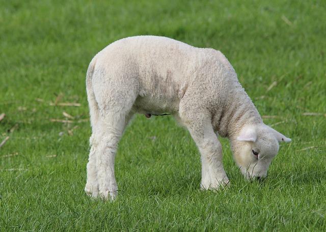 Photo gratuite deichschaf agneau agneaux image - Photos de moutons gratuites ...