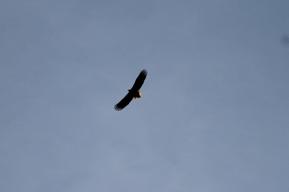 Burung Elang Terbang Foto Gratis Di Pixabay