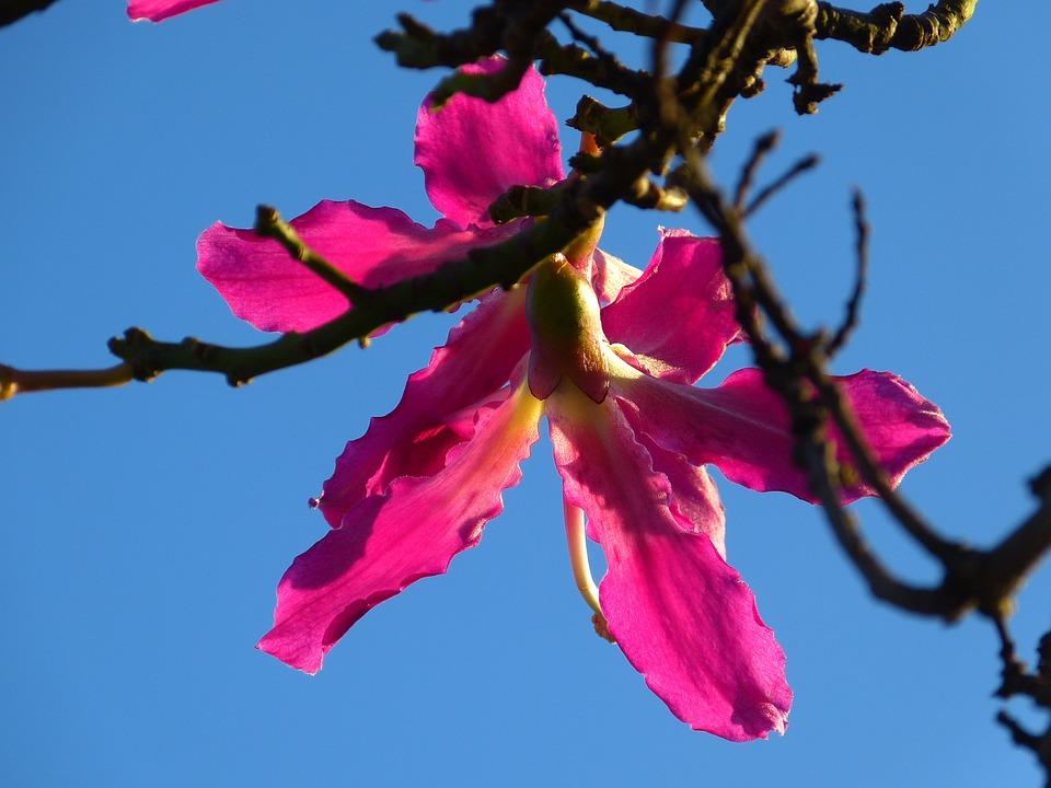 Kapok Tree Ceiba Pentandra Pochote - Free photo on Pixabay