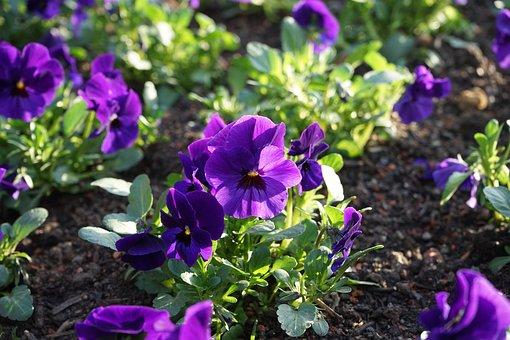 Penséer, Blomma, Blomning, Violett