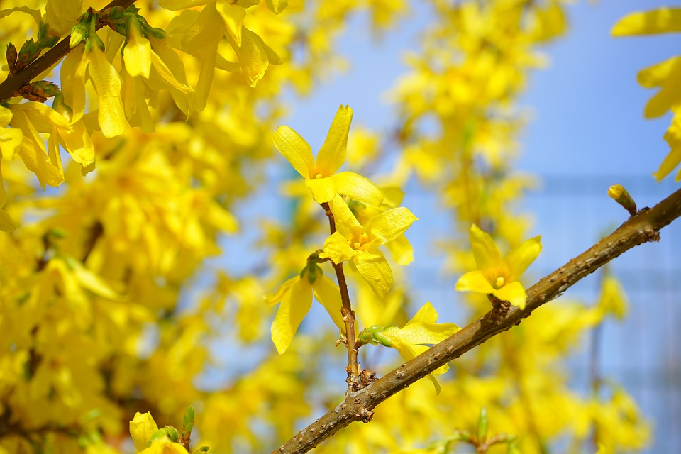 free photo forsythia, blossom, bloom, yellow  free image on, Beautiful flower