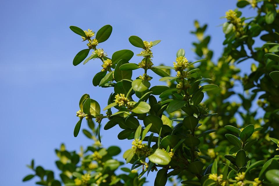 この本の花, 花, 花序, 本の木の花, 本, 普通のツゲ, 枝, 緑, 葉, ツゲ センペル, つげ, ツゲ