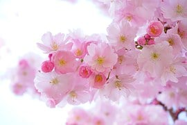Japanese Cherry Trees, Flowers