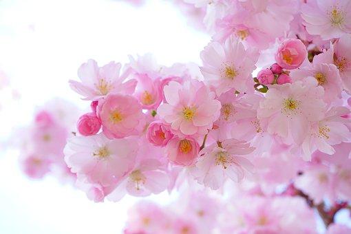 ピンク, 桜, フラワーズ, 支店, ピンクの花, さくら, 日本の桜の木, 木