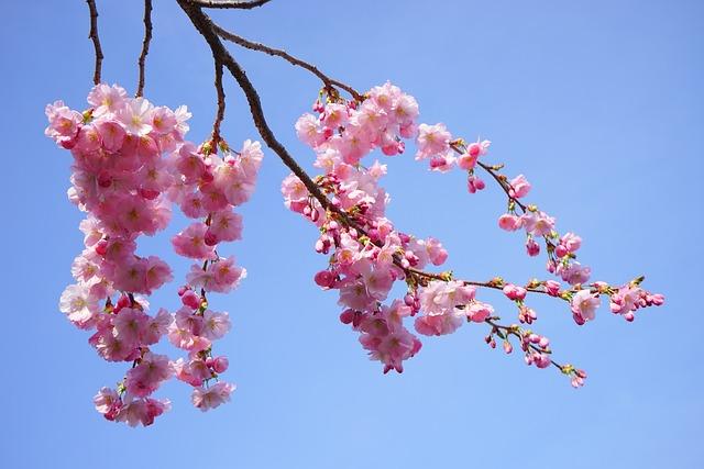 photo gratuite cerisiers japonais fleurs rose image gratuite sur pixabay 324179. Black Bedroom Furniture Sets. Home Design Ideas