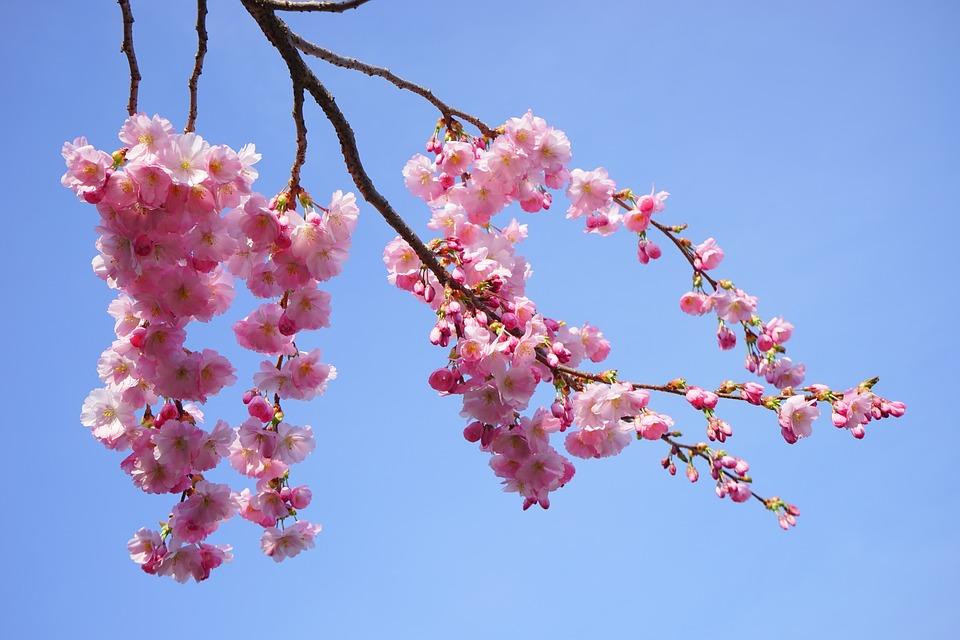 Photo gratuite cerisiers japonais fleurs rose image - Branche de cerisier japonais ...