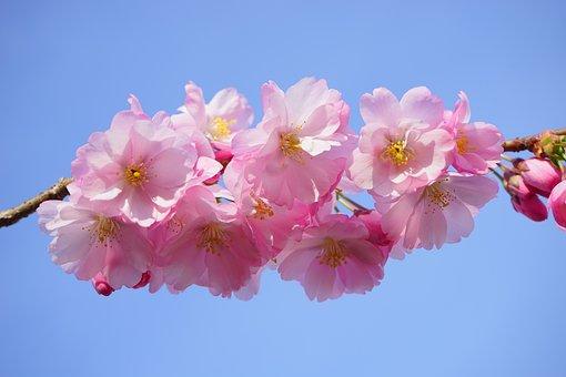 Cerisiers Japonais, Fleurs
