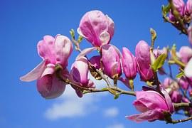 Magnolia, Magnolia Blossom, Blossom