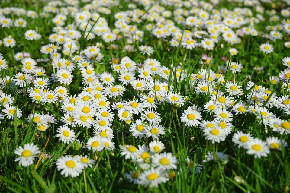 Daisies for sampling