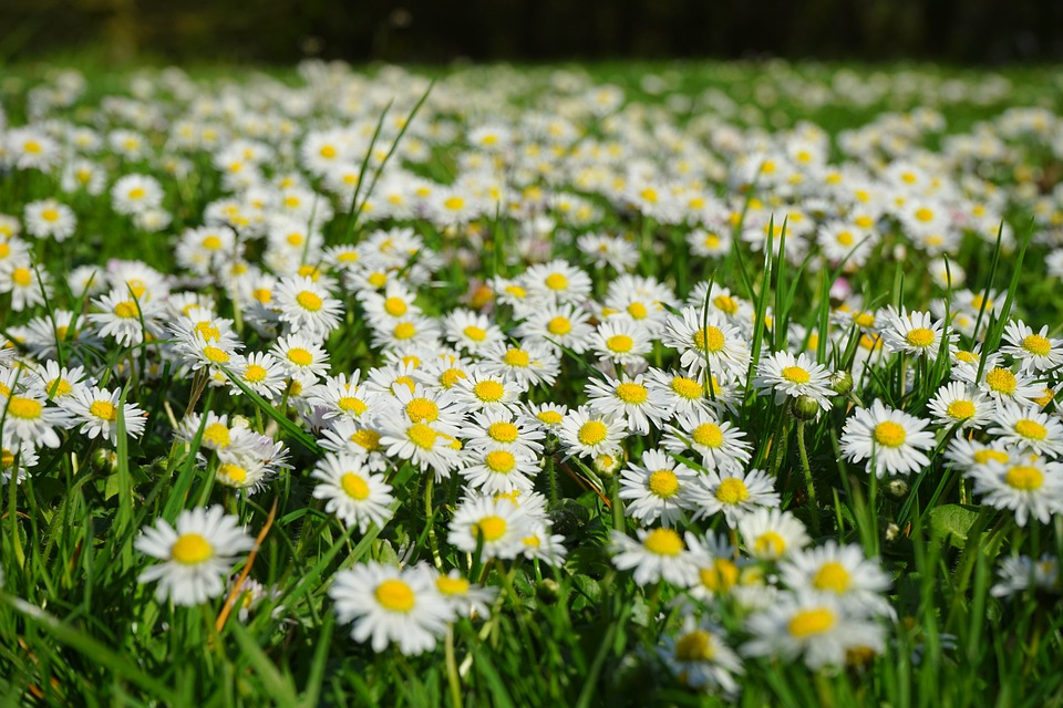 free photo daisy, flower carpet, white, meadow  free image on, Beautiful flower