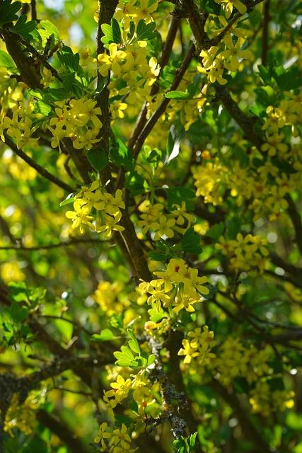 Free Photo Ribes Aureum Flowers Yellow Bush Free
