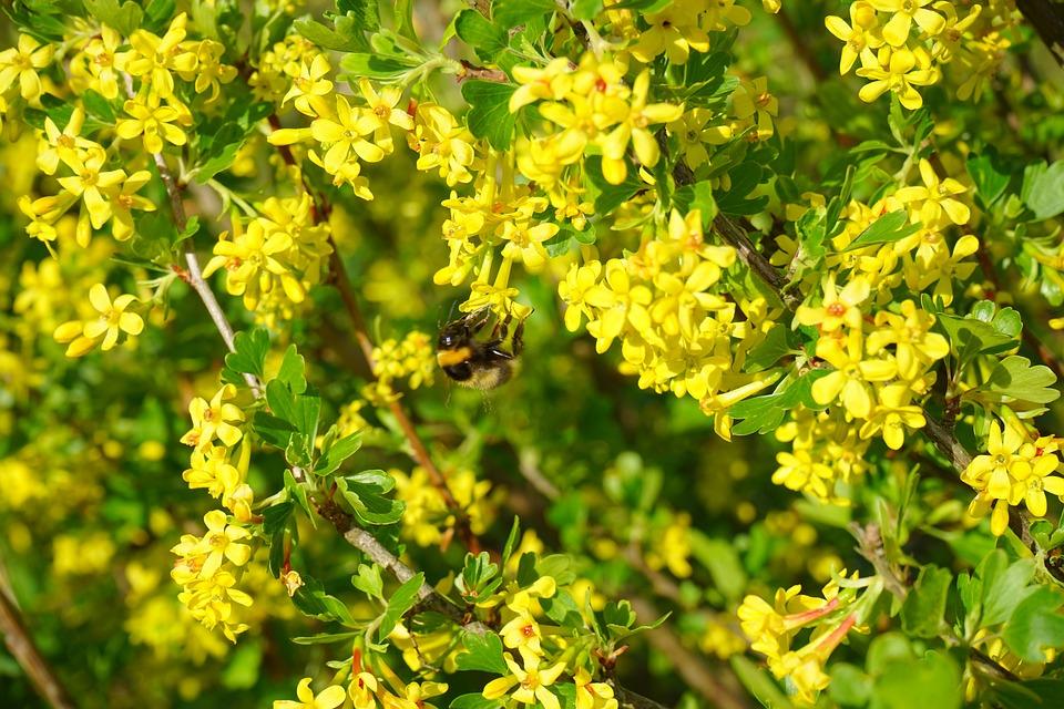 Gratis foto gele ribes bloemen gele bush gratis afbeelding op pixabay 324491 - Bush architectuur ...