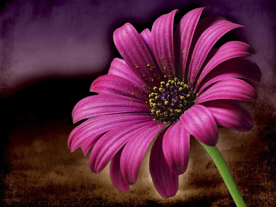 photo gratuite: rose, marguerite, fleur, macro - image gratuite