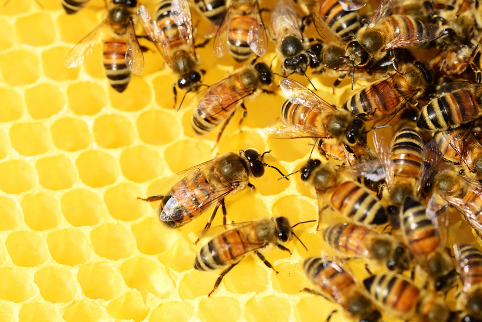 honey-bees-326337_960_720.jpg (960×640)