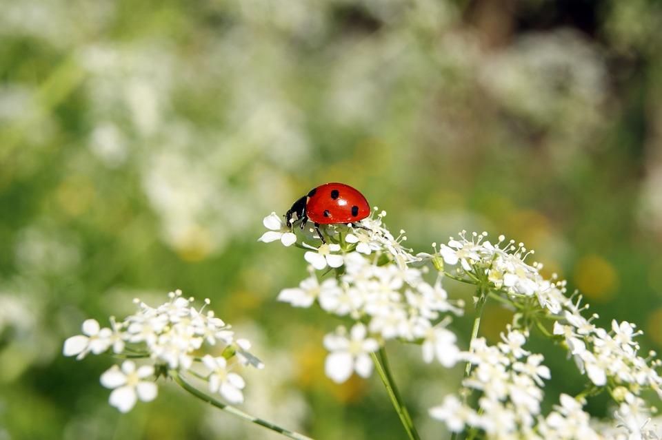 Marienkäfer Insekt Blume Kostenloses Foto Auf Pixabay