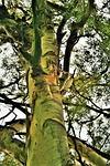 eucalyptus tree, tree, trunk