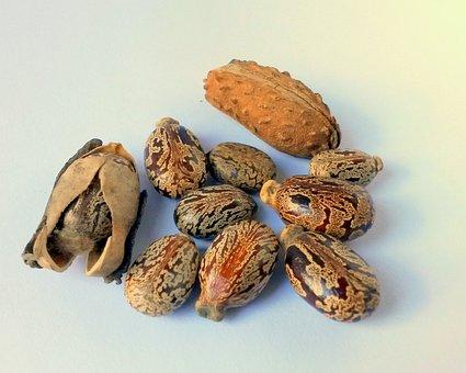 Graines De Ricin, Castor, Ricinus