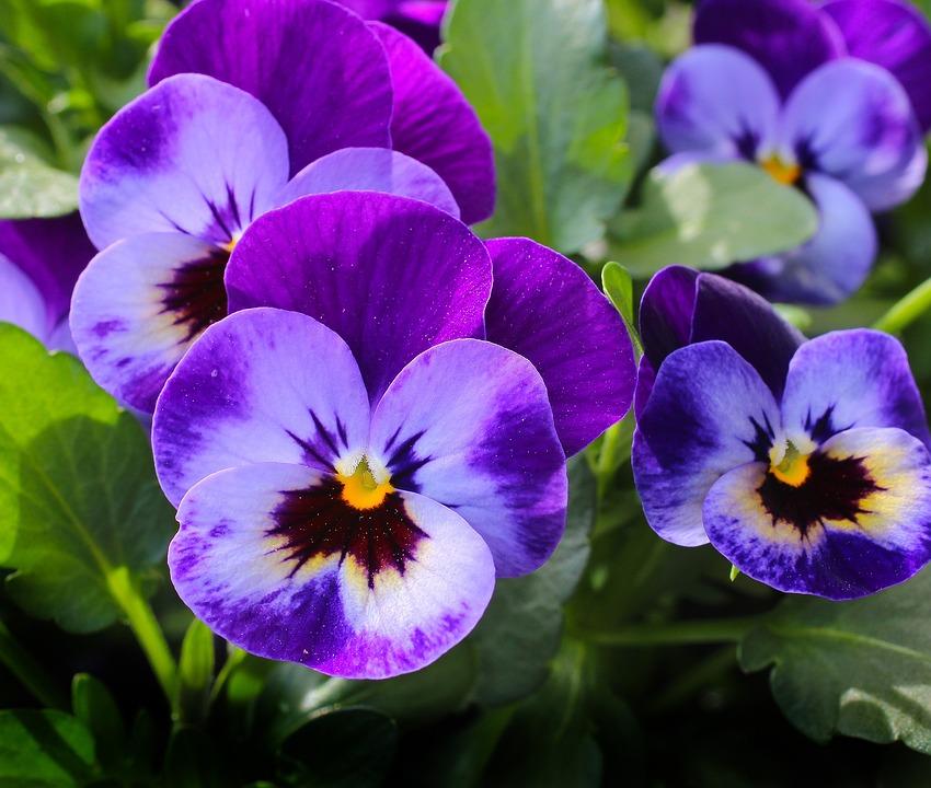 Photo gratuite violette fleurs plantes nature image - Image fleur violette ...