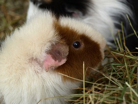 Guinea Pig, Sea ​​Pig House, Cute