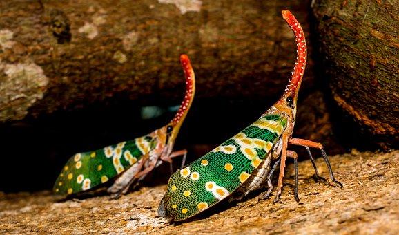 Canthigaster Cicada, Fulgoromorpha