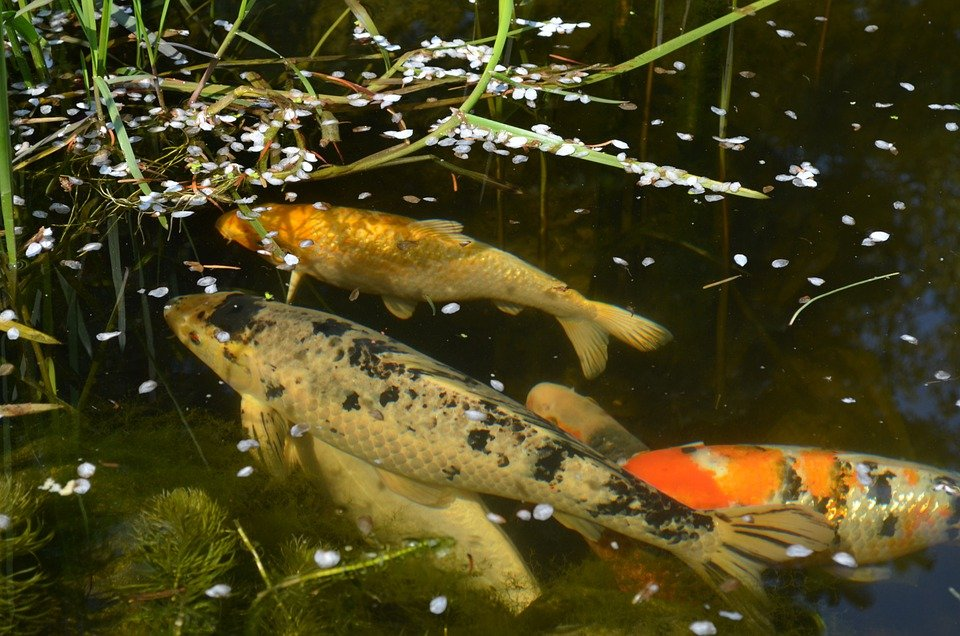 Free photo koi koikarpfen ornamental fish free image for Decorative pond fish