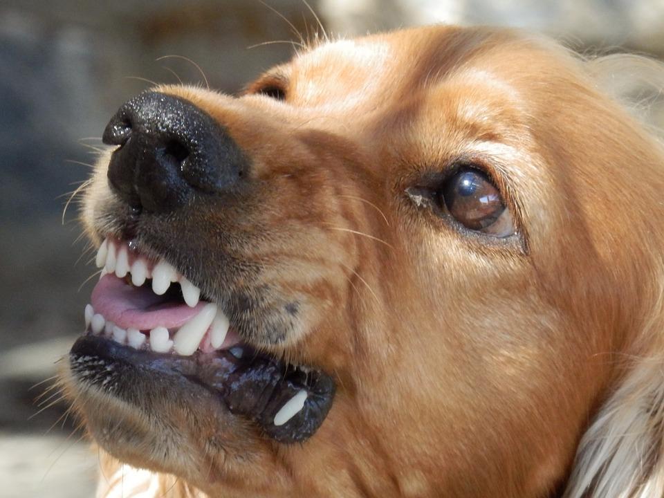 Dog, Angry Dog, Aggressive, Snappy, Biting, Animal