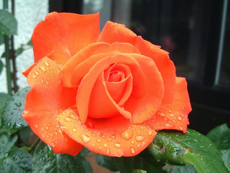 kostenloses foto rosen blumen bl te lachsfarben kostenloses bild auf pixabay 330532