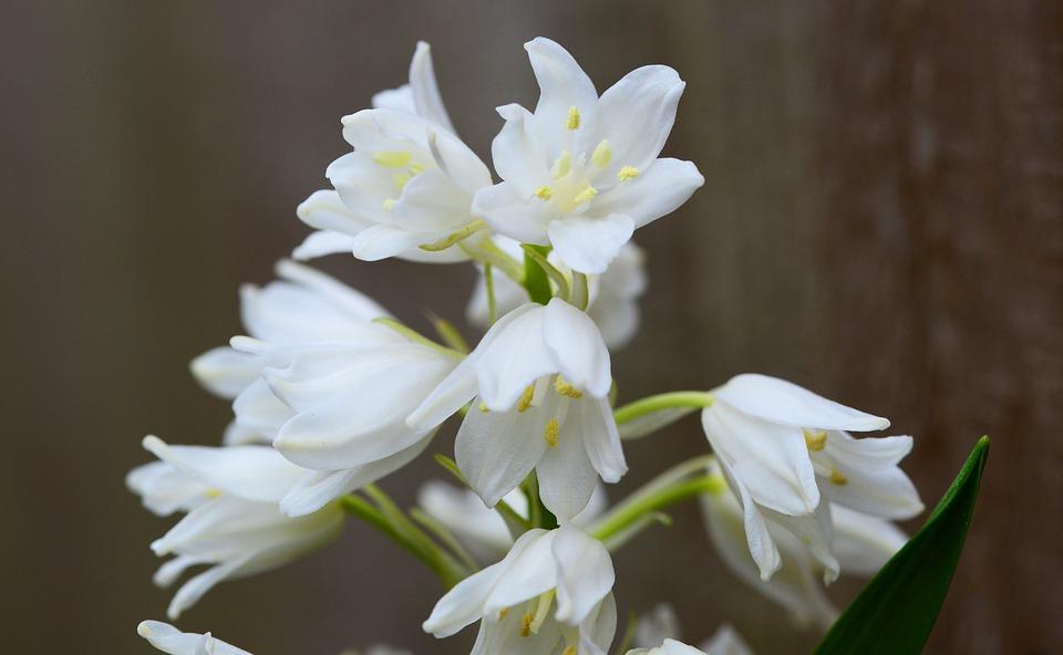 Holz Hyazinthe Weiß Bell Blume · Kostenloses Foto auf Pixabay