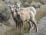 bighorn sheep, horns